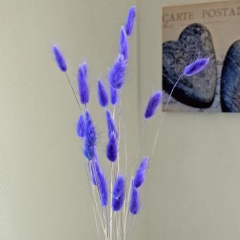 Lagurus lila getrocknet - 1 Bund mit 20 Stielen