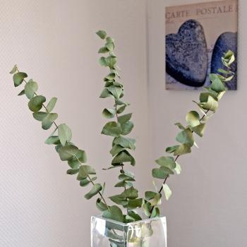 Eukalyptus getrocknet - 1 Bund mit 3 Stielen